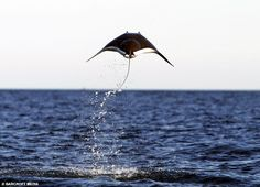 Mobula Ray The Jumping Bean Of The Sea  Lazer Horse