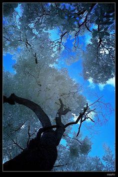 snowy trees, bluebird sky