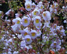 Jovallana violacea - Teacup flower