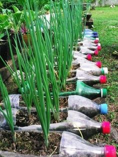 Recycled Bottle Garden creates a border with Garlic Chives and Shallots to feed the family, friends, neighbors and relatives.