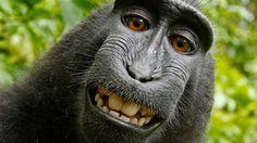 Aber har ret til selfies ... men fotograf David J Slater er svært utilfreds med, at Wikimedia giver fri adgang til den selfie, som en abe tog med Slaters udstyr! Lad os håbe, at retsopgøret om ophavsretten til abe-selfien giver fotografen masser af omsætning og mindst lige så meget opmærksomhed, som aben får :)
