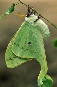 Actias luna, the luna moth, is a lime-green, Nearctic Saturniid moth. My favvvvvvvv Cool Insects, Flying Insects, Bugs And Insects, Papillon Butterfly, Butterfly Wings, Butterfly Chrysalis, Butterfly Template, Butterfly Dragon, Butterfly Flowers