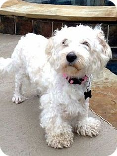 The Woodlands, TX - Poodle (Miniature) Mix. Meet Muffin a Dog for Adoption.