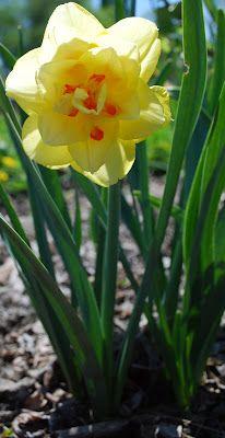 Daffodil Started