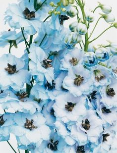 "Delphinium -- pretty for anyone doing a ""tiffany"" wedding theme, seems to be the right color of blue!"