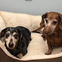 Available Pets At Dachshund Rescue South Florida In Weston Florida Dog Pounds Dachshund Rescue Dog Adoption