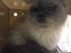 8/6/16 SL- VASILISA - A1083421 - - Staten Island *** TO BE DESTROYED 08/02/16 *** EXOTIC VASILISA IS AN INDEPENDENT LADY…….This 4 year old, cream and gray Himalayan got along with her owner but not the owner's child. So instead of taking the time to find a home, VASILISA got the quick trip to the ACC dumping ground. VASILISA is in immediate need of an understanding home tonight!! We don't know why VASILISA had problems with the owner's child and we are s