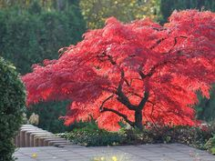 I Am Organic Gardening Garden Trees, Trees To Plant, Garden Plants, Acer Garden, Asian Garden, Acer Palmatum, Classic Garden, Japanese Maple, Small Trees