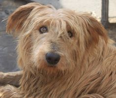 Hoda is an adoptable Wheaten Terrier Dog in Rowayton, CT. Hoda is approx 3 yrs old and 35 lbs, this wheaten mix can run and play with the best of them - but she is a very special dog because she surv...