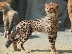 """twofacedsheep: """"Everyone was so smitten with the King Cheetah I posted the other day, I decided to post this King Cheetah cub. Fun fact: King Cheetahs were considered cryptids until 1981 when some..."""