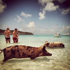 Exuma Islands, Bahamas these pigs are awesome they swim right up to your boat so you can feed them !! A must if you ever visit the Bahamas