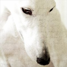 "The Dreamer.""  Cara (my favorite Spanish Galgo) photographed by Petra Postma"