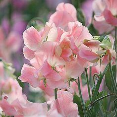 Wicke 'Salmon Cream', Root Catalog, Default Category, Saatgut, Duftpflanzen, Wicken, Kletterpflanzen, Gestalten mit Rosa