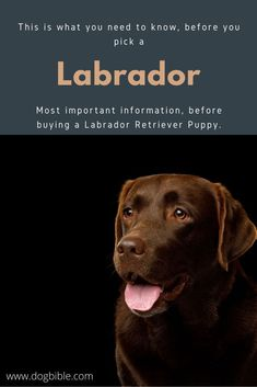 You need to know that the Labrador ist a total family dog and also very good for work and therapy Labrador Retrievers, Labrador Breed, Guide Dog, Medium Sized Dogs, Bloodhound, Therapy Dogs, Family Dogs, Working Dogs, Newfoundland