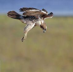 Red-tailed Hawk, juvenile.  Photo by salah baazizi.