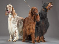 English setter (left), Irish setter (center), and Gordon setter (right)
