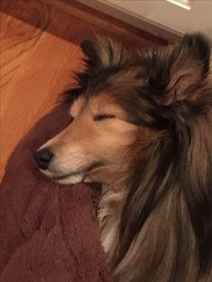 Sheltie Chloe. Sleeping Beauty.