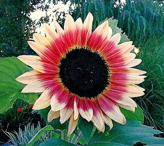Its #sunflowersunday !Did you know that there are over 70 types of sunflowers! This Strawberry Blond sunflower is not just captivating to the eye but alsotasty add in recipes. That's right they are edible. You can either fry or simply use them as a garnish. #fyi the taste of this #strawberryblond sunflower is bittersweet.  Golden Tips: 1. #Sun. Sun & more sun for this sunflower.  2. Adding mulch after the sunflower is mid size helps keeps the soil moist just be careful not to apply mulch to…