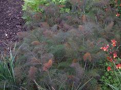 Bronze Fennel Foeniculum vulgare 'Purpureum' used by Luciano Giubbilei in his Chelsea Flower Show Laurent-Perrier Garden 2009