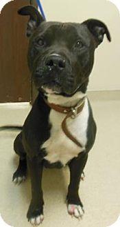 Gary, IN - Pit Bull Terrier Mix. Meet Eight Ball, a dog for adoption. http://www.adoptapet.com/pet/11723611-gary-indiana-pit-bull-terrier-mix