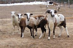 """My favorite sheep breed is the """"Painted desert sheep"""" ."""