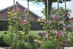Austinrosorna Constance Spry på trädgårdsstolpar