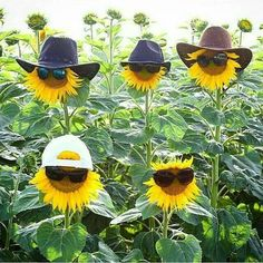 Mammoth still have the most fun in the garden! Sunflower Pictures, Sunflower Quotes, Sunflower Garden, Sunflower Family, Short Poems, Really Funny, Happy Day, Garden Inspiration, Flower Power