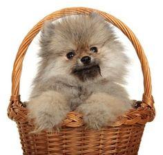 PetPom | Pomeranian Information Center | Aggression Problems