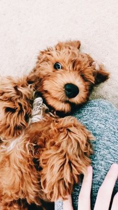 36 Ideas For Funny Cute Girl Animal Pictures Silly Dogs, Cute Dogs And Puppies, I Love Dogs, Doggies, Cute Funny Animals, Cute Baby Animals, Cockapoo Puppies, Goldendoodles, Cavapoo