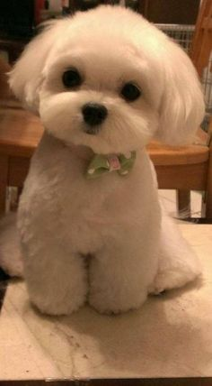 puppies for sale near me - puppies for sale near me . puppies for sale . puppies for sale near me free . puppies for sale free . puppies for sale near me cheap . puppies for sale near me 2020 . puppies for sale near me shih tzu . puppies for sale in texas Cute Little Animals, Cute Funny Animals, Little Dogs, Cute Dogs And Puppies, Baby Dogs, Doggies, Cheap Puppies, Brown Puppies, Tiny Puppies