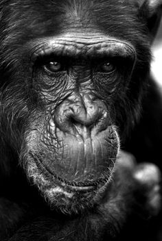 Portrait Chimpanzee from MSP Canvas on canvas, wallpaper and more - Artwork: 'Chimpanzee Portrait' Wild Photography, Wildlife Photography, Animal Photography, Photography Ideas, Primates, Zoo Drawing, Animal Original, Animals And Pets, Cute Animals