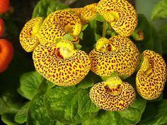 Studio Floral Dora Santoro: Calceolaria