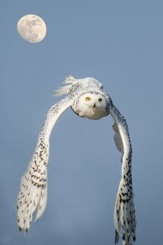 Snowy owl in flight. - by Robert Skreiner                                                                                                                                                      Mehr
