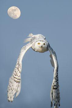 Snowy owl in flight. - by Robert Skreiner                                                                                                                                                      Mehr