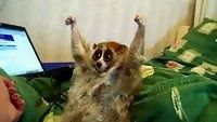 The Slow Loris is considered an endangered species and not really suitable as a pet. Not only are they illegal to own, but they have sharp teeth and wild-like behaviors, but this one is certainly the exception. He loves being tickled!