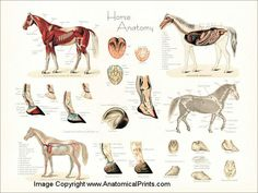 Anatomy of the horse poster.
