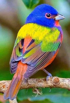 You can see them in Florida, Texas, and other southern states. A few visit NY, not often. Pretty Birds, Love Birds, Beautiful Birds, Animals Beautiful, Cute Animals, Exotic Birds, Colorful Birds, Exotic Pets, Painted Bunting