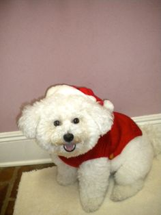 My dog is so photogenic #bichonfrise #cute