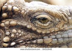 A closeup of the eye of a cuban rock iguana