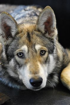 czechoslovakian wolfdog, what a beautiful face. Ok ppl.always ask if bolt is part wolf. This face does resemble his! Rare Dogs, Rare Dog Breeds, Pet Dogs, Dogs And Puppies, Dog Cat, Beautiful Dogs, Animals Beautiful, Wolf Hybrid Dogs, Animals And Pets