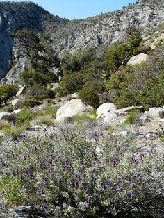 Purple Desert sage commonly grows along the edges of the desert. Big Berry Manzanita, Happlopappus linearis, Single Leaf Pinyon, Stipa speciosa