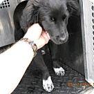 Irving, TX - Border Collie. Meet black, a for adoption. http://www.adoptapet.com/pet/15560884-irving-texas-border-collie-mix