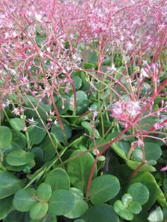 Crassula multicava - Great as a groundcover to suppress weeds, but easy to pull out if you want to reclaim the garden Dry Garden, Side Garden, Garden Planters, Cacti And Succulents, Planting Succulents, Cactus Plants, Dry Shade Plants, Drought Resistant Plants, Succulent Images