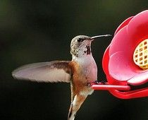 Rufous hummingbird at a nectar feeder equipped with bee guards, plastic mesh devices that fit over the drinking ports. Plastic Mesh, Bees And Wasps, How To Attract Hummingbirds, Cool Pins, Plant Care, Bird Feathers, Beautiful Gardens, Bugs, Cool Stuff