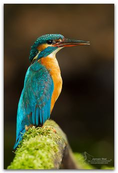 Project 3 - Style Thumbnail: Kingfisher bird