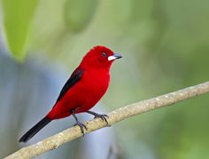 The Brazilian tanager (Ramphocelus bresilius) is a species of bird in the Thraupidae family.