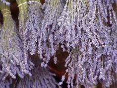 Learn about the care and culture of growing lavender in the garden.