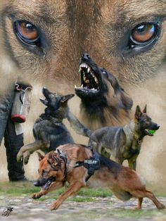Military and Law Enforcement Working Dogs. Home and Family Protector. The German Shepherd Dog. A friend who serves Humans faithfully. This would make a awesome Tattoo. Military Working Dogs, Military Dogs, Police Dogs, German Shepherd Puppies, German Shepherds, War Dogs, Yorkshire Terrier Puppies, Shetland Sheepdog, Service Dogs