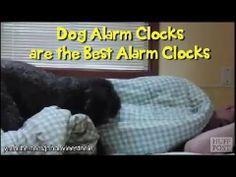 Όταν οι σκύλοι μετατρέπονται σε... ξυπνητήρια – Ο μοναδικός τρόπος που ξυπνάνε τα αφεντικά τους  http://www.iefimerida.gr/node/149761/