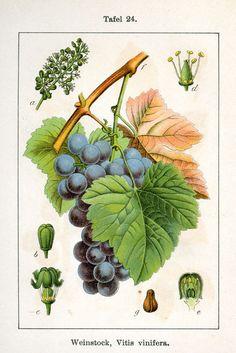 Deutschlands Flora in Abbildungen (1796) Johann Georg Sturm
